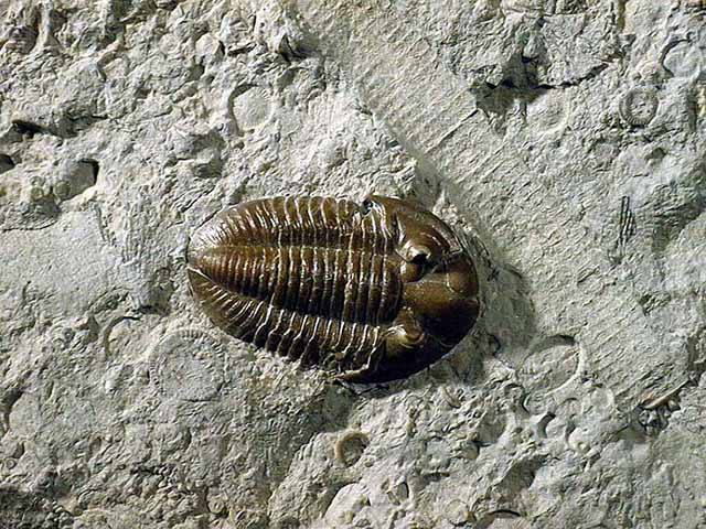 photo of a Trilobite