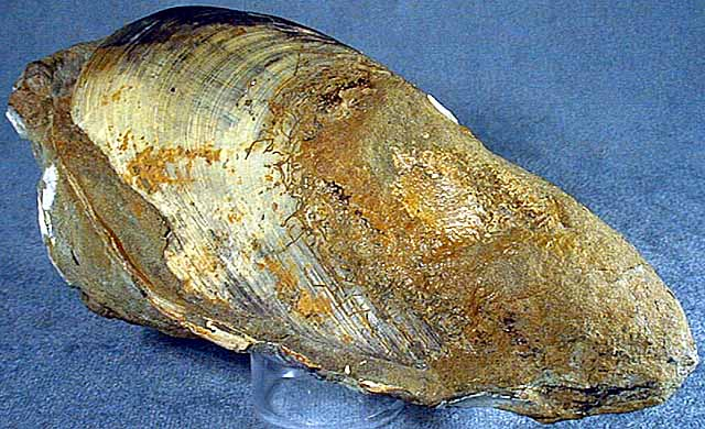 photo of a Mussel