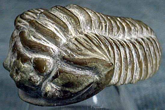 photo of a Trilobite
