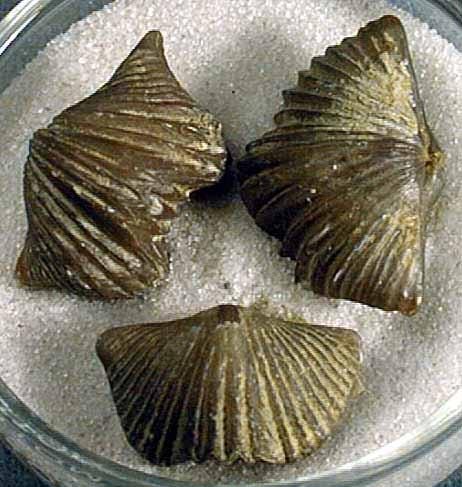 photo of a Brachiopod
