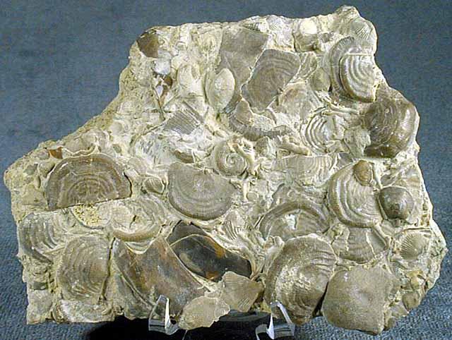 photo of a Seafloor Assemblage (Brachiopod, Bryozoa, Coral, Annelida, Gastropod, etc.)