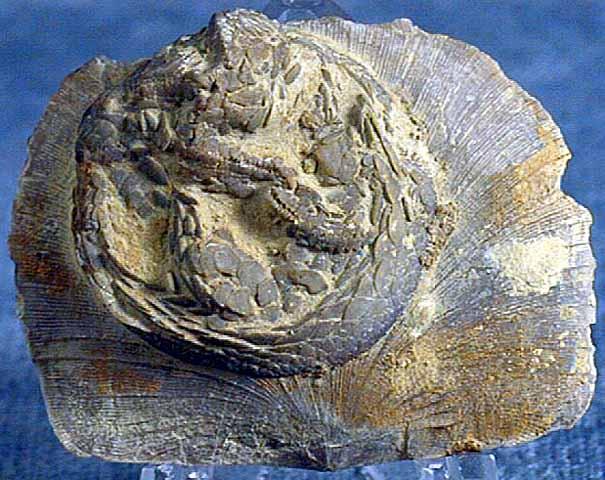 photo of a Edrioasteroid