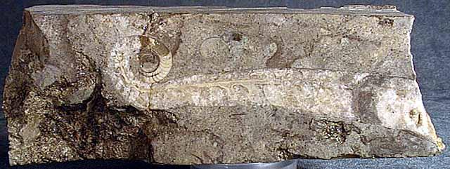 photo of a Cephalopod