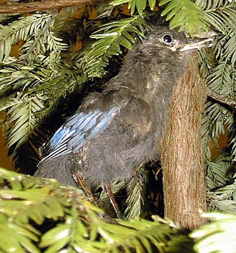 photo of a Steller's Jay (juvenile)