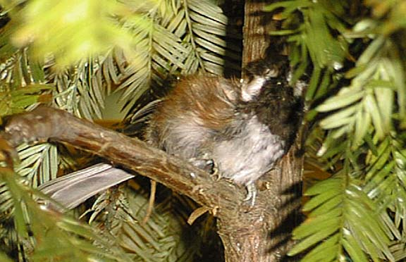 photo of a Chestnut-backed ChicadeeSong*