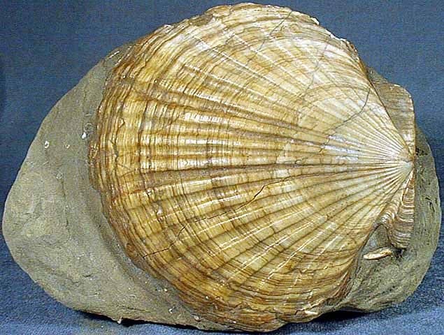 photo of a Giant Pacific Scallop