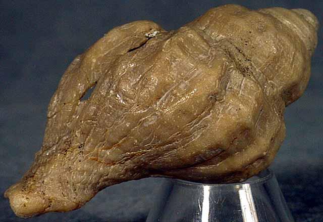 photo of a Thaididae