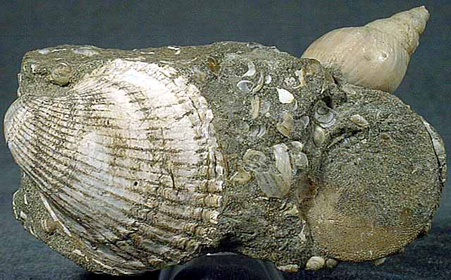 photo of a Neptune snail and extinct cokle shell