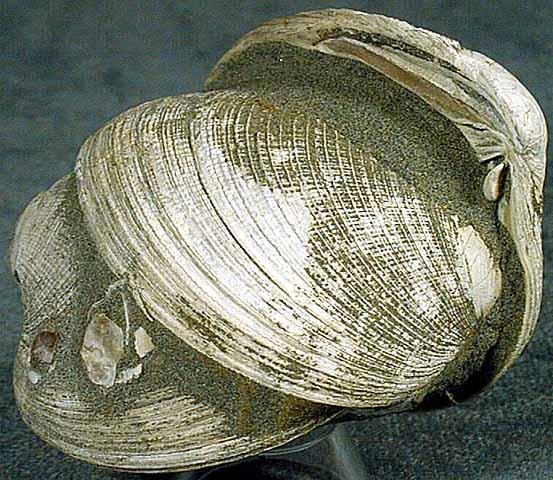 photo of a Littelneck clams