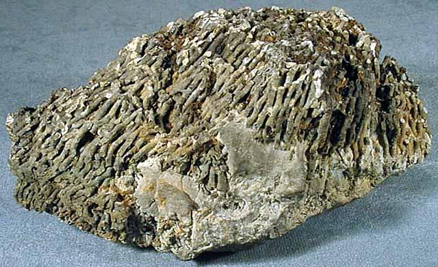 Верхний коралл табулят хализитес halysites sp