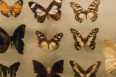 Butterfly models in a displaycase
