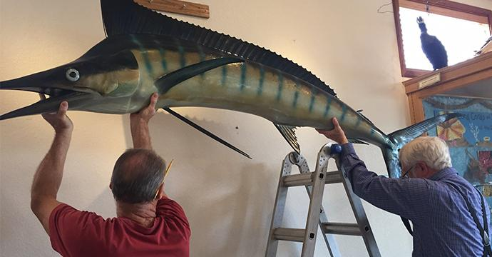 Volunteers hanging our newly donated sailfish over our intertidal exhibit.