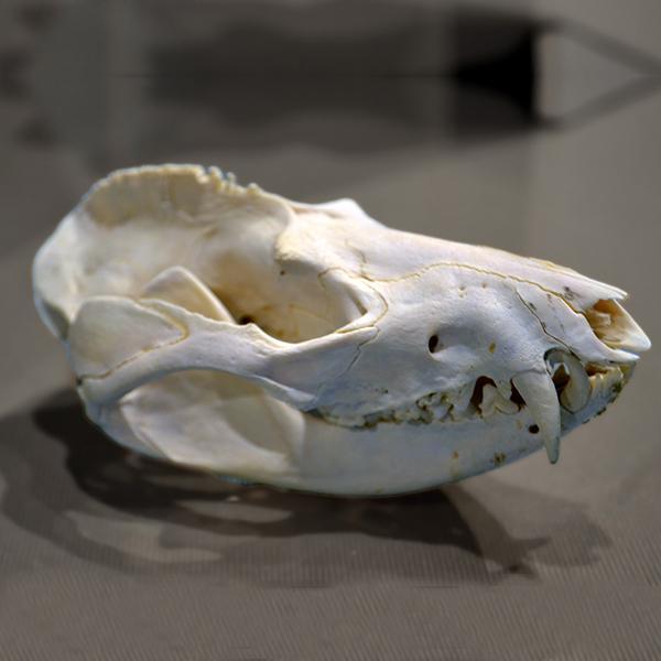 A photo of a cat skull