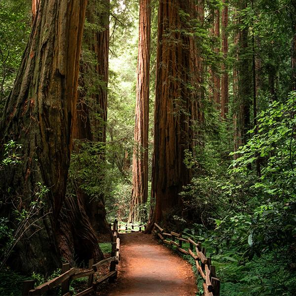 Photo of a trail into a redwood forest.