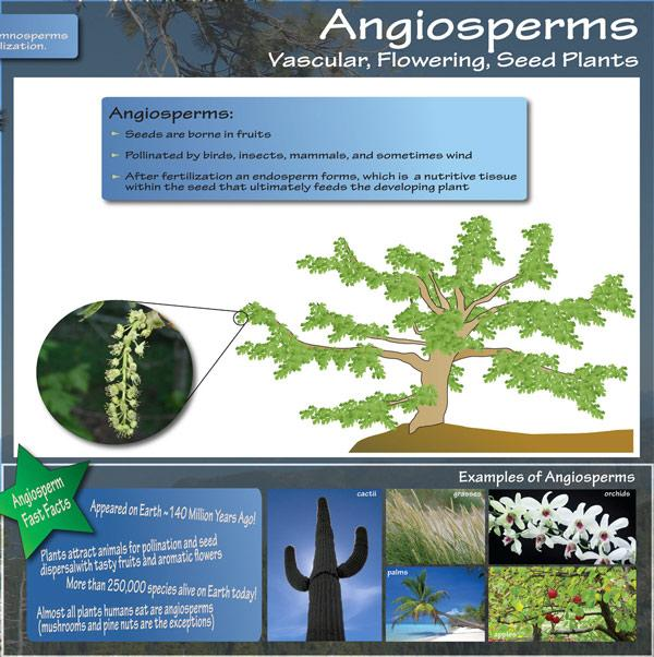 Angiosperms - Vascular, Flowering, seed plants. Seeds are born in fruits. Pollinated by birds, insects, mammals, and sometimes wind. After fertilization an endosperm forms, which is a nutritive tissue within the seed that ultimately feeds the developing p