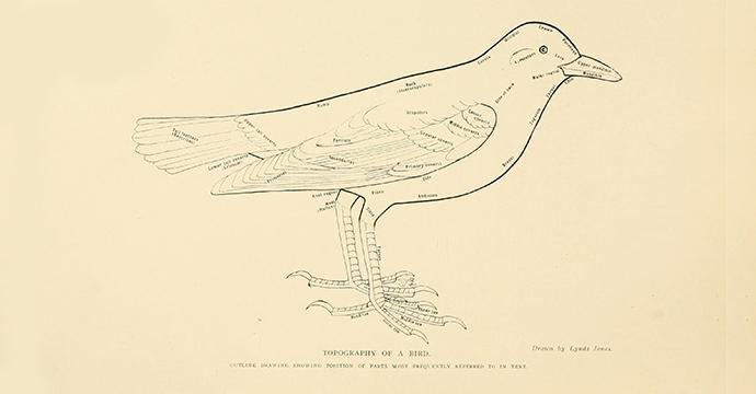 Scientific drawing of bird topography