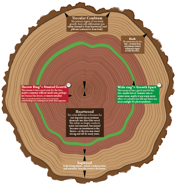 A cross section of a redwood tree with examples of crossdating