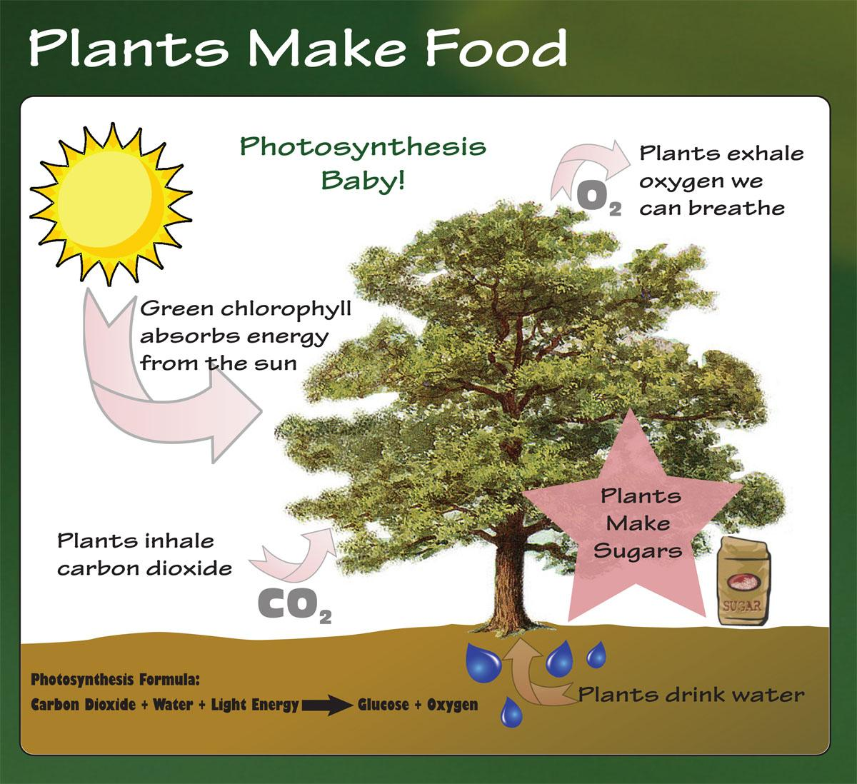 Photosynthesis baby! Plants exhale oxygen we can breath. Green chlorophyll absorbs energy from the sun. Plants inhale carbon dioxide. Plants make sugar.  Plants Drink Water. Photosynthesis Formula: Carbon Dioxide + Water + Light Energy = Glucose + Oxygen.