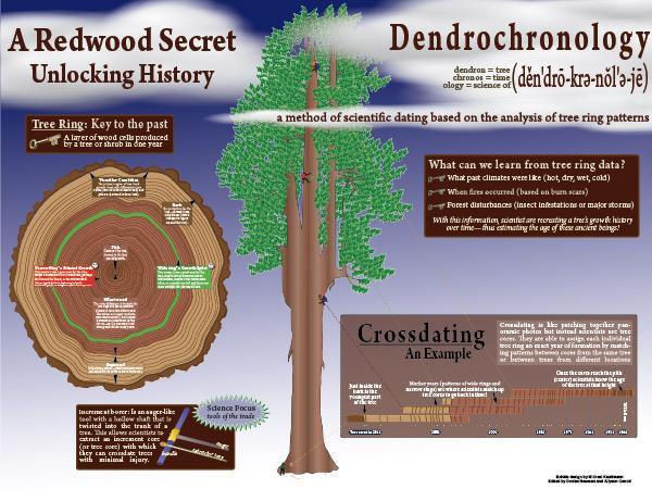 Dendrochronology poster -  crossdating techniques - analyzing a cross section of a redwood tree
