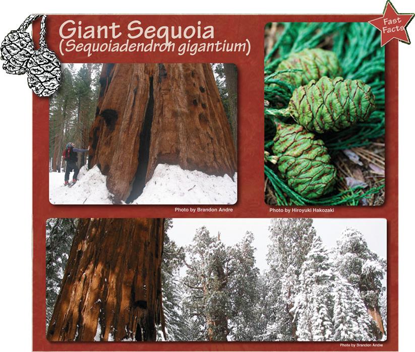 Giant Sequoia - Sequoiadendron gigantium