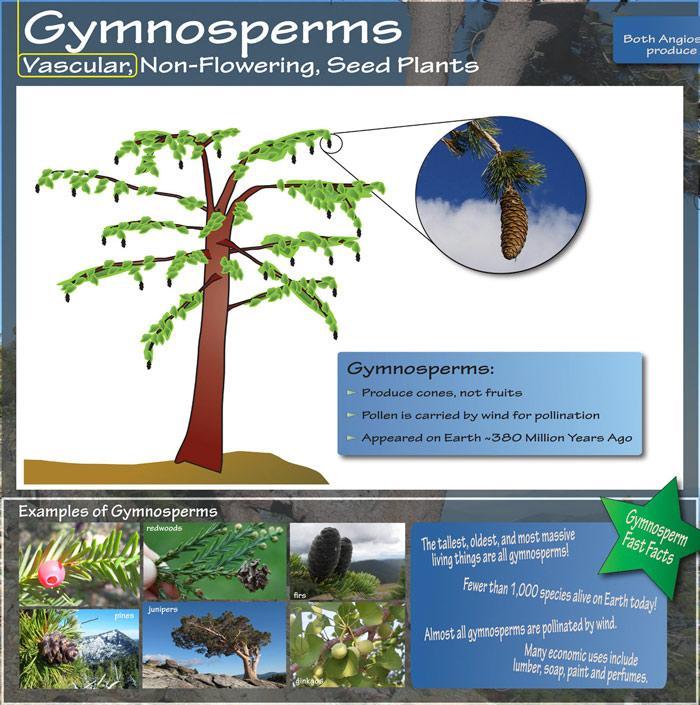Gymnosperms - vasular, non-flowering, seed plants. photos of cone plants.