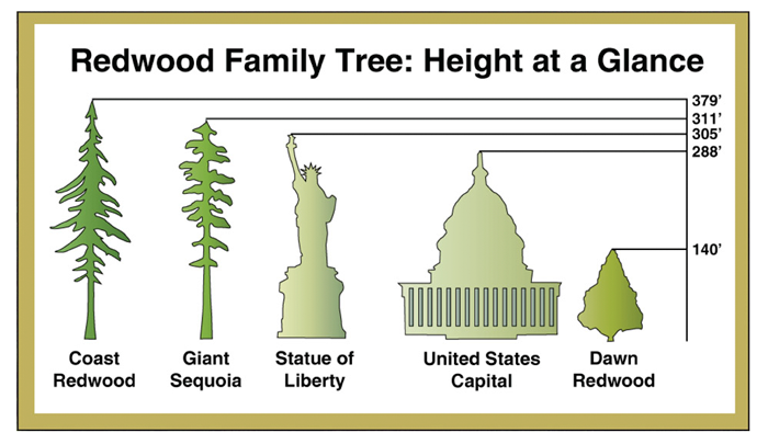 Redwood Tree - Heights at a glance