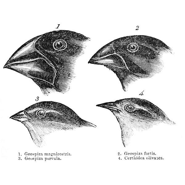 A scientific drawing of four finches with different evolutionary beak adaptations