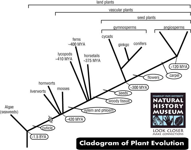 Cladogram of Plant Evolution