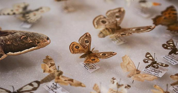 A moth display case. Several species of moths are included