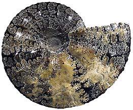 ammonite shell - Placenticeras intercalare