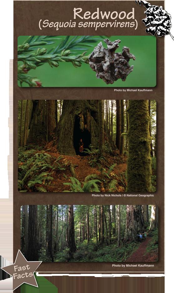 Redwood - Sequoia sembervirens