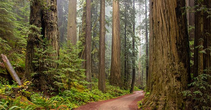 Photo of a redwood forest trail