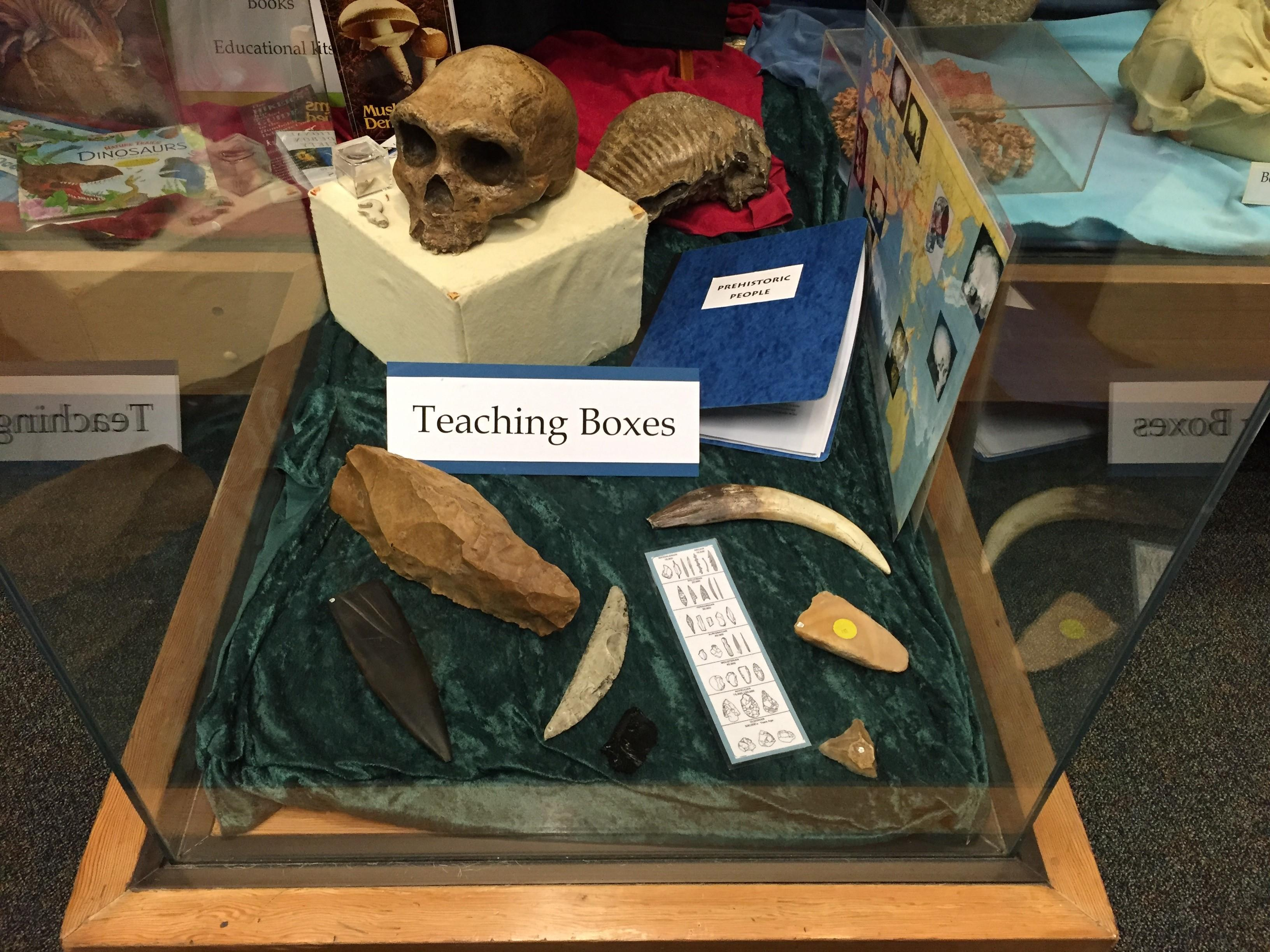 Photo of a teaching box used at the natural history museum. Inside is a skull, arrowheads, animal teeth, and ancient tools.