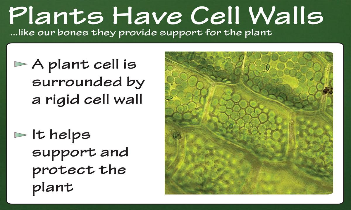 Plants have cell walls ...like our bones they provide support for the plant. A plant cell is surrounded by a rigid cell wall. It helps support and protect the plant.
